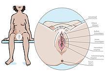 Grafik zeigt die äußeren weiblichen Geschlechtsorgane